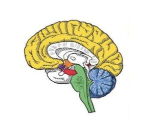 Zonas del cerebro con mayor % de receptores de cannabinoides